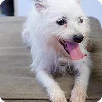Adopt A Pet :: Sugar - Marietta, GA