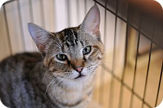 Domestic Shorthair Cat for adoption in Hanna City, Illinois - Moon