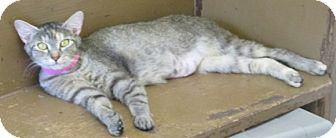 Domestic Shorthair Cat for adoption in Aiken, South Carolina - MIMI