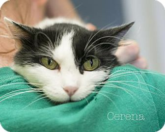 Domestic Shorthair Cat for adoption in West Des Moines, Iowa - Cerina