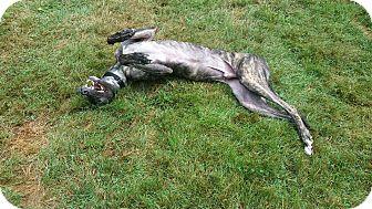 Greyhound Mix Dog for adoption in Glastonbury, Connecticut - Jerico