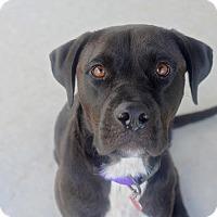 Adopt A Pet :: Sophia - Huntsville, AL