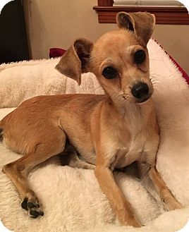Chihuahua/Italian Greyhound Mix Dog for adoption in Beaumont, Texas - Rambo