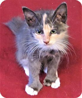 Calico Cat for adoption in Gonzales, Texas - Polyanna