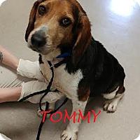 Adopt A Pet :: TOMMY - Ventnor City, NJ