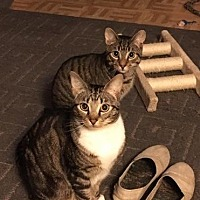 Adopt A Pet :: Gizmo & Stripe - Whitestone, NY