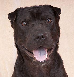 Shar Pei/Labrador Retriever Mix Dog for adoption in Chicago, Illinois - Little Bear