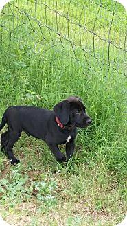 Labrador Retriever/Rhodesian Ridgeback Mix Puppy for adoption in Wichita Falls, Texas - Bear