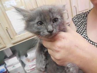 Domestic Mediumhair/Domestic Shorthair Mix Cat for adoption in Morgan Hill, California - Razorback