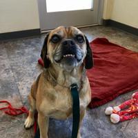 Pug Mix Dog for adoption in Missoula, Montana - Sadie