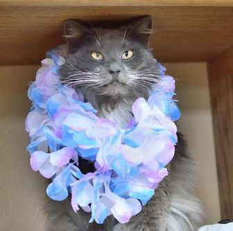 Domestic Longhair/Domestic Shorthair Mix Cat for adoption in Redmond, Oregon - Puddin