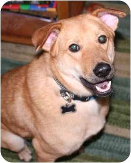 Labrador Retriever/Golden Retriever Mix Dog for adoption in Concord, California - Atlas