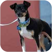 Chihuahua Dog for adoption in Denver, Colorado - Phillip