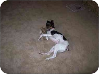 Rat Terrier Mix Dog for adoption in Vidor, Texas - Spunky Monkey