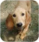 Beagle/Basset Hound Mix Dog for adoption in Foster, Rhode Island - Emma