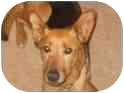 German Shepherd Dog/Canaan Dog Mix Dog for adoption in Raritan, New Jersey - Julie