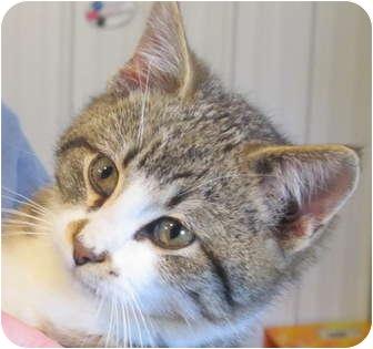 Domestic Shorthair Kitten for adoption in Marseilles, Illinois - McLovin