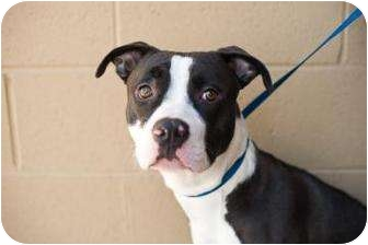 American Pit Bull Terrier Mix Dog for adoption in La Habra, California - Styles