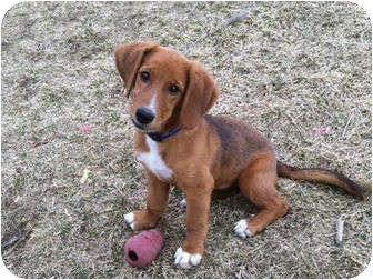 Golden Retriever Mix Puppy for adoption in Denver, Colorado - Zoe