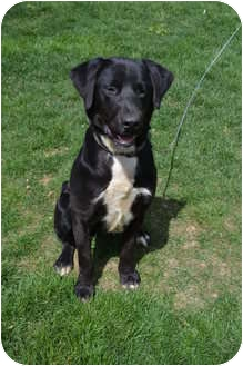 Labrador Retriever Mix Dog for adoption in Lewisville, Indiana - Stuart