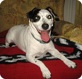 Jack Russell Terrier Dog for adoption in Thomasville, North Carolina - Millie