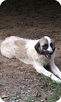 Great Pyrenees Dog for adoption in Spring Valley, New York - Ramus