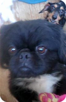Pekingese Mix Dog for adoption in New Jersey, New Jersey - NJ - Mr. Chen