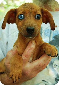 Dachshund Mix Puppy for adoption in Washington, D.C. - Moses