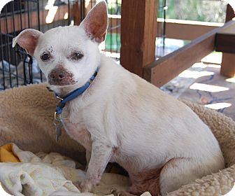 Chihuahua Mix Dog for adoption in Creston, California - Gummi Bear