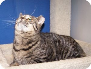 Domestic Shorthair Cat for adoption in Colorado Springs, Colorado - Tobin