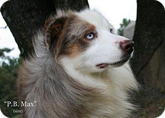 Australian Shepherd Dog for adoption in Cranford, New Jersey - Max