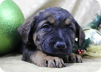 Shepherd (Unknown Type)/Rottweiler Mix Puppy for adoption in Westminster, Colorado - Tobbagon