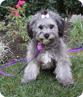 Havanese Mix Puppy for adoption in Newport Beach, California - LOLLIPOP