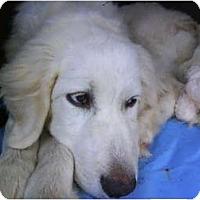 Adopt A Pet :: Snowball - Wayne, NJ