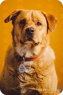 Labrador Retriever/Golden Retriever Mix Dog for adoption in Portland, Oregon - Humbert