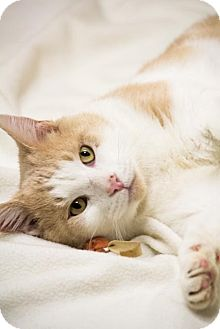 Domestic Shorthair Cat for adoption in Chicago, Illinois - Bruno