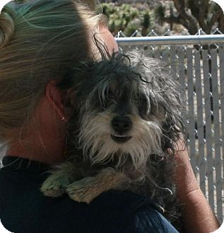 Yorkie, Yorkshire Terrier Mix Puppy for adoption in Yucca Valley, California - Oso Larkspur California