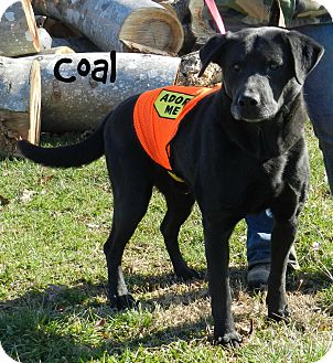 Labrador Retriever Mix Dog for adoption in Lawrenceburg, Tennessee - Coal