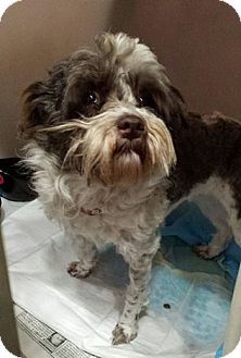 Poodle (Toy or Tea Cup)/Shih Tzu Mix Dog for adoption in North Haven, Connecticut - Wendy