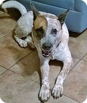Australian Cattle Dog Mix Dog for adoption in Friendswood, Texas - Grant