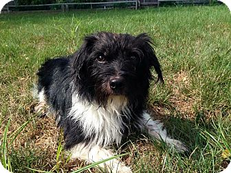 Terrier (Unknown Type, Medium) Mix Dog for adoption in Newtown, Connecticut - Paddington
