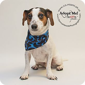 Dachshund/Beagle Mix Dog for adoption in Troy, Ohio - Moby