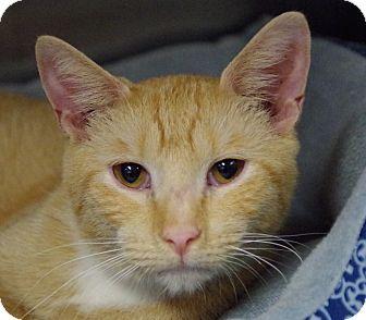 Domestic Shorthair Cat for adoption in Daytona Beach, Florida - Gunner