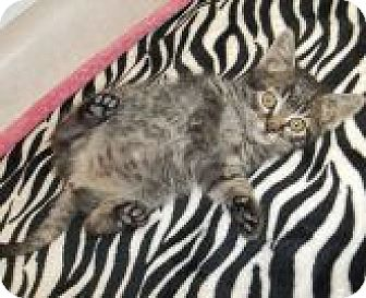 Domestic Shorthair Kitten for adoption in Silver City, New Mexico - Miss Kitty