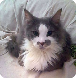 Maine Coon Cat for adoption in Knoxville, Tennessee - Kodak