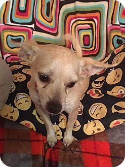 Chihuahua Dog for adoption in Fairfax, Virginia - Bear