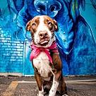 Adopt A Pet :: Daisy Mae II - Denton, TX