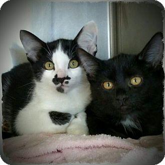 Domestic Shorthair Kitten for adoption in Pueblo West, Colorado - nugget