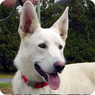 German Shepherd Dog Mix Dog for adoption in New Ringgold, Pennsylvania - Maui
