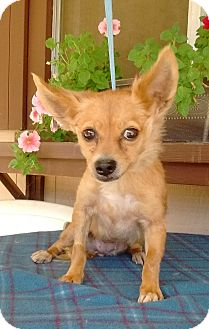 "Pomeranian/Chihuahua Mix Dog for adoption in Seattle, Washington - ""Piper"""